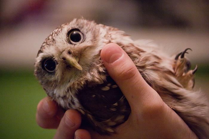 Сколько стоит сова