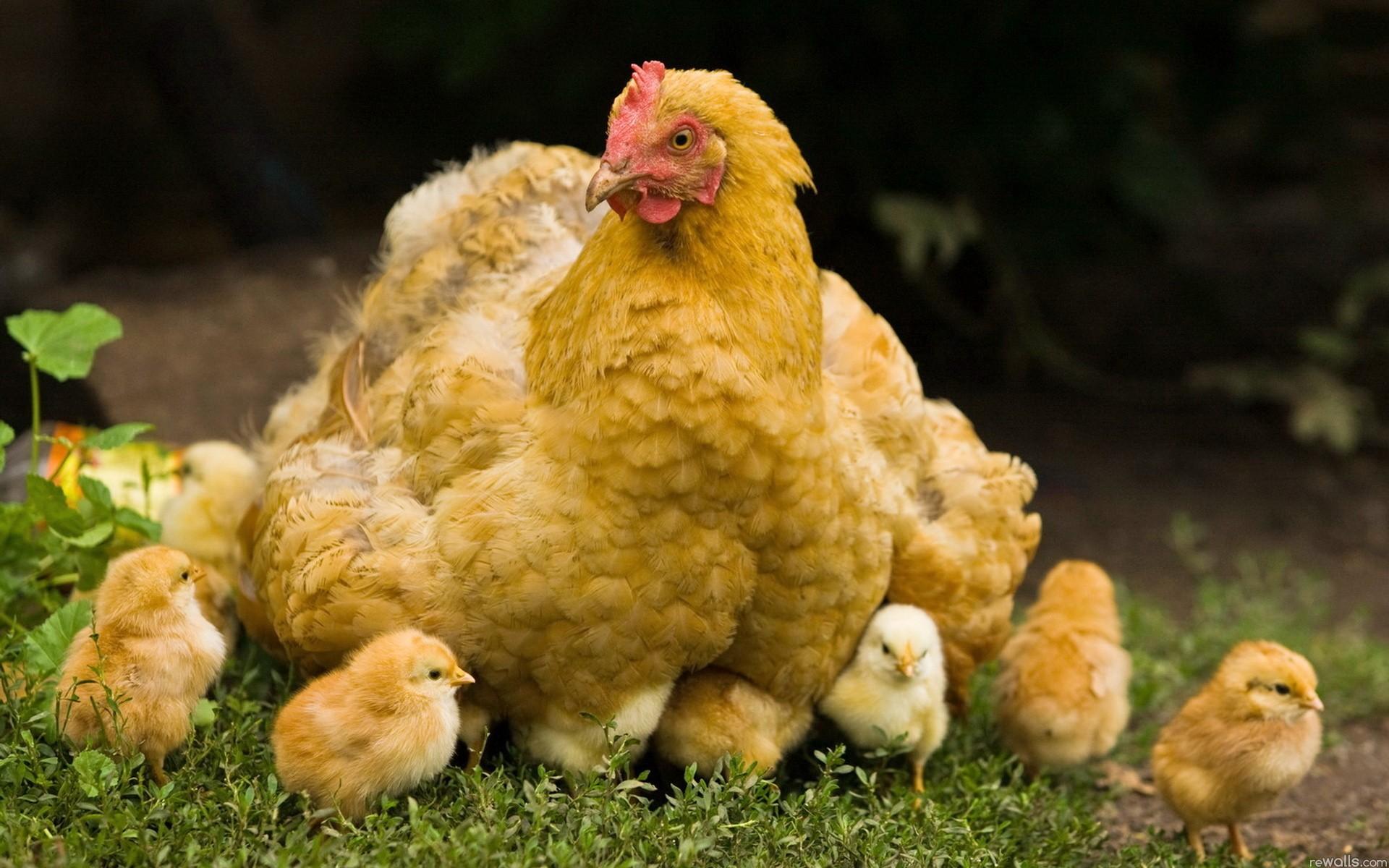 Сколько стоит курица