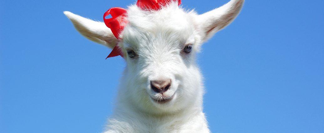 Сколько стоит коза цена стоимость порода козел коза