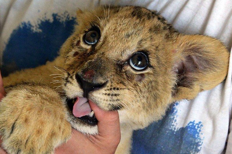 Сколько стоит живой львенок в России и можно ли его купить