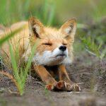 Сколько стоит лиса? цена стоимость лиса